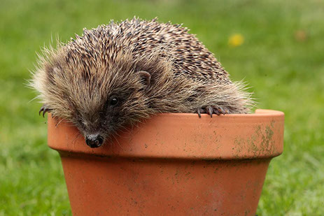 Hedgehog populations are declining fast and need our help